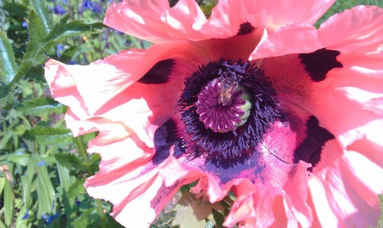 Abstract poppy a